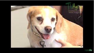 En perros diabética miopatía