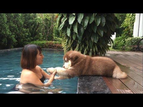 Mật tập bơi cười đau ruột, đi nghỉ ở Resort Đại Lải vui hết nấc bà con ơi ➤ Mật Pet Family