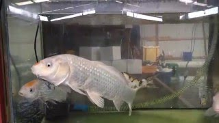 Huge koi fish, goldfish in stock