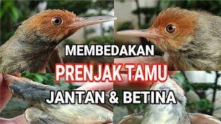 CIRI CIRI PRENJAK TAMU / PRENJAK ATAS JANTAN DAN BETINA !!