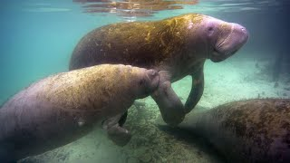 A Cute Manatee Calf Swims Close to His Mother (4K)