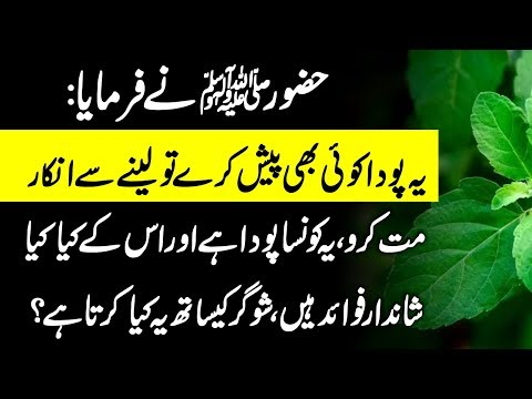 hazrat-muhammad-saww-says:-don't-reject-this-plant---benefits-of-sweet-basil-(tulsi)