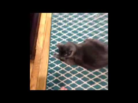 Cat Catches Toy like Odell Beckham Jr