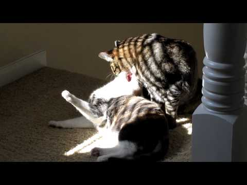 Kitty Love & Hate Cleaning Fight