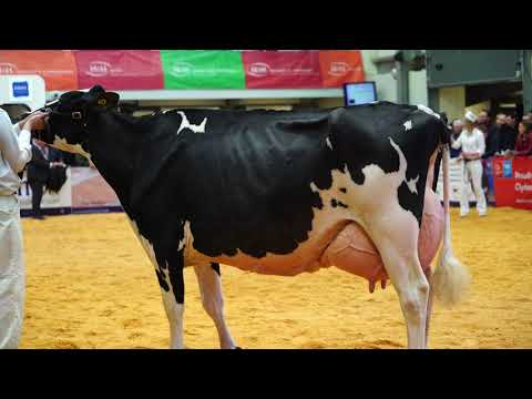 Jennifer (Evening Holsteins) wins 5yr old Class at UK Dairy Expo.4K Video