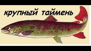 Русская рыбалка 3 ловля тайменя.