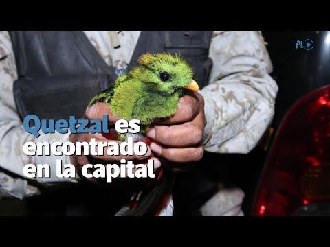 Quetzal es encontrado en comercial en la zona 16 capitalina | Prensa Libre