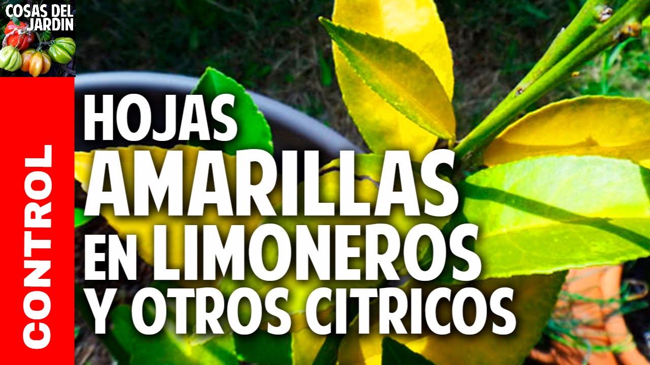 Hojas amarillas en las plantas limoneros y naranjos for Hongos en las plantas de jardin