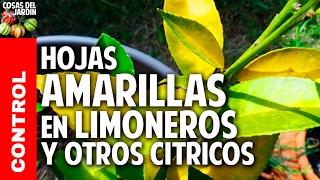 Hojas amarillas en las plantas Limoneros y Naranjos - Fertilización y Hongos @cosasdeljardin