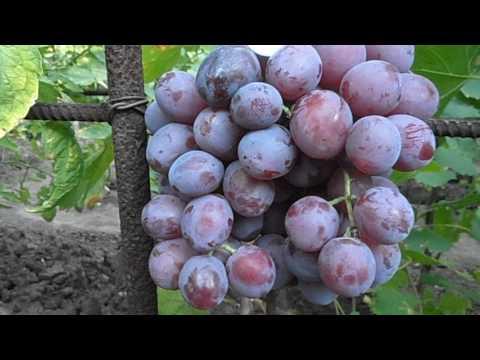 Сорт винограда виктория урожай2015