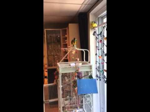 Senegal Parrot Dancing To Singing