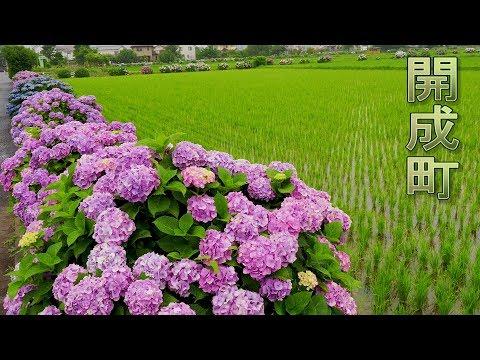 Blooming Hydrangea In The Rice Fields.開成町 #4K #開成あじさいの里