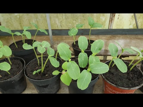 Salatalık Fidesi Yetiştiriciliği Ve Dikimi Toprak Nasıl Olmalı