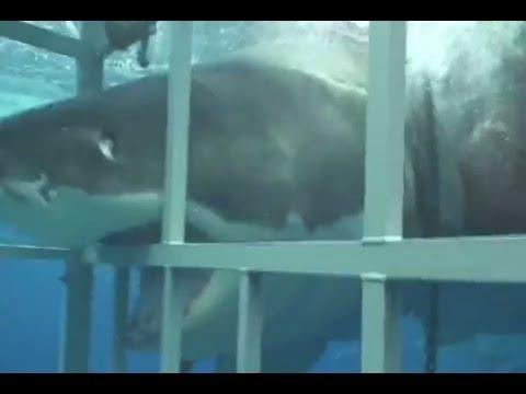 Grande squalo bianco contro la gabbia requin blanc sur for Disegno squalo bianco