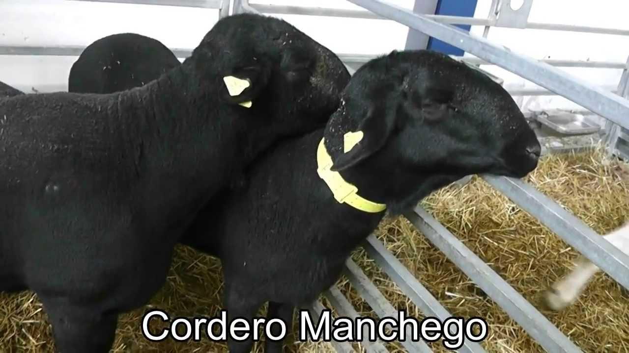 Cordero Manchego Negro Y Blanco Youtube