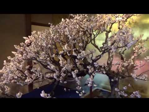 Plum Bonsai show in Japan ! Blossom. UME BON TEN 梅盆展 Part 3.