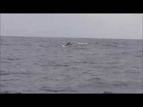 Arabian Sea humpback whale near Karachi (Sindh) coast of Pakistan