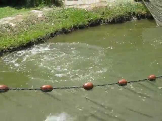 Harvesting and sexing of grass carp (Ctenopharyngodon idella) broodstock (Egypt) Travel Video