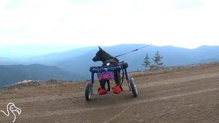 Dog On Wheels Climbs A Mountain