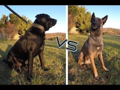 BELGIAN MALINOIS VS ALANO / LABRADOR -MIX