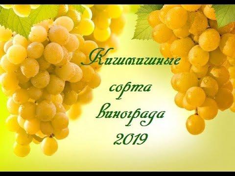 Кишмишные сорта винограда 2019