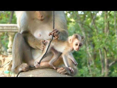 Very Cute Newborn Baby Pigtail Monkey Is Gorgeous-Meeting New Family Pigtail Monkey