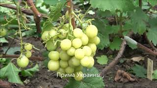 видео Виноград Прима Украины: описание сорта, фото