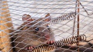 Rat Trap Cage Monitoring Application