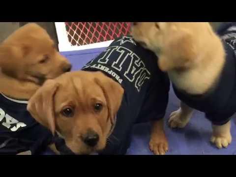 Dallas Cowboy Puppies in