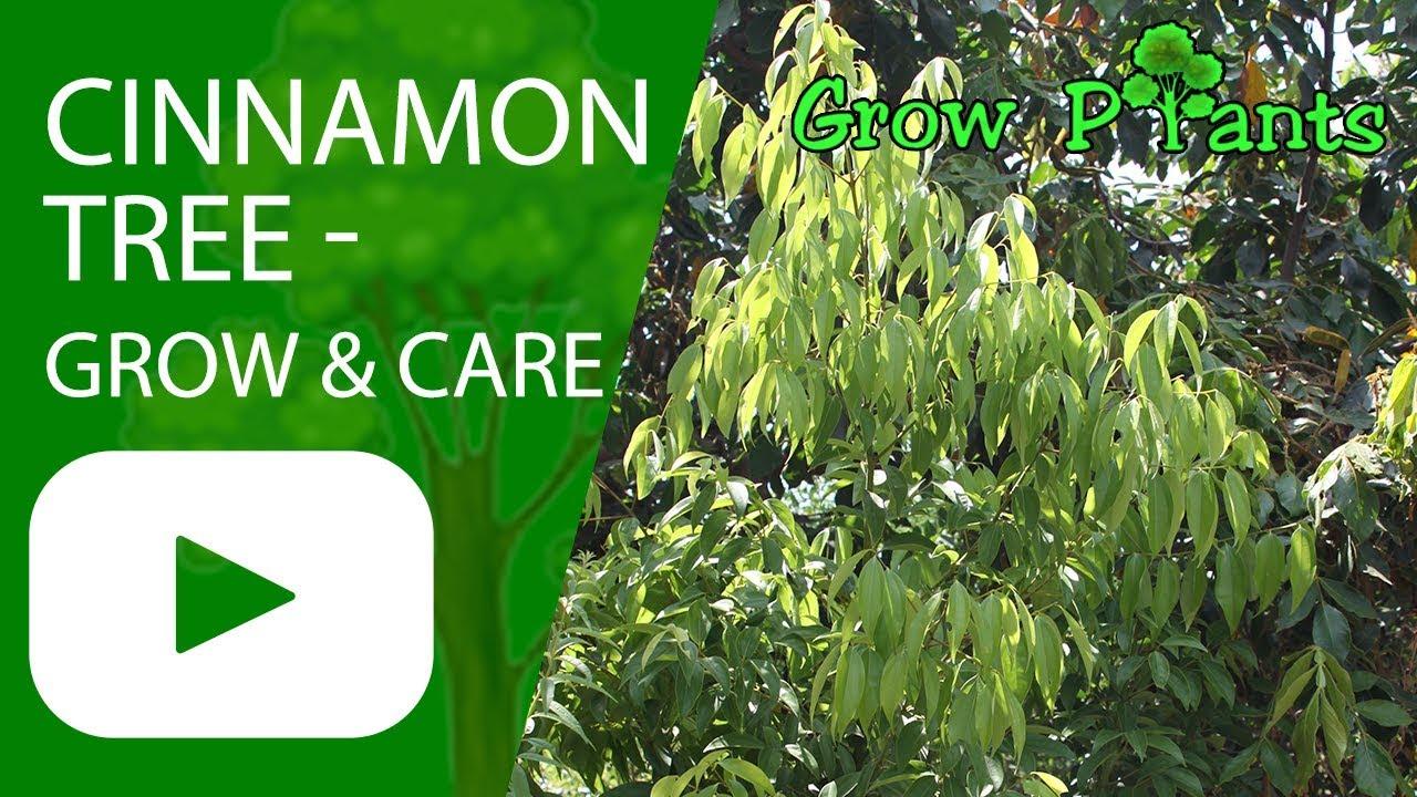 Cinnamon tree - growing & care - YouTube