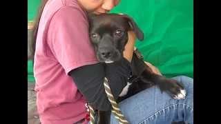 A4835992 Ralphie | Boxer/labrador Retriever Mix Puppy