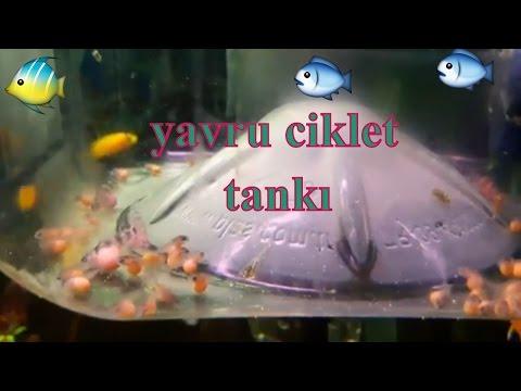 AKVARYUM CİKLET YAVRULARI, Akvaryum Balıkları