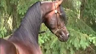 Самые красивые лошадь в мире это-Арабская лошадь