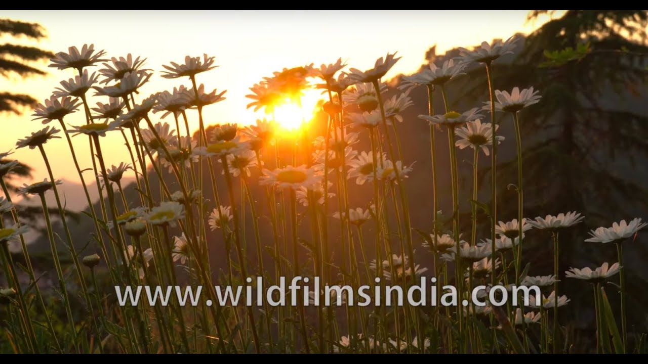 A field of flowers: Daisies galore in the mountains
