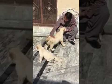 White lion cubs Multan 2018