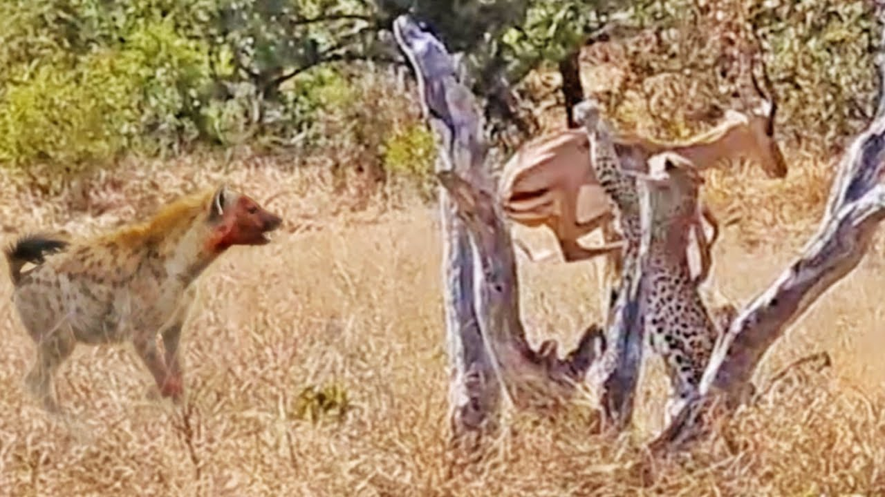 Leopard Catches Impala, Loses it to Hyena, then Fights Back!