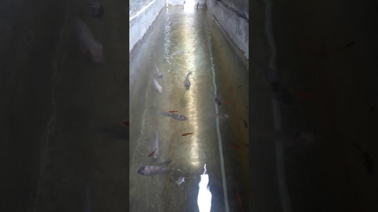 Budidaya ikan Nila dan ikan koi di kolam beton - YouTube