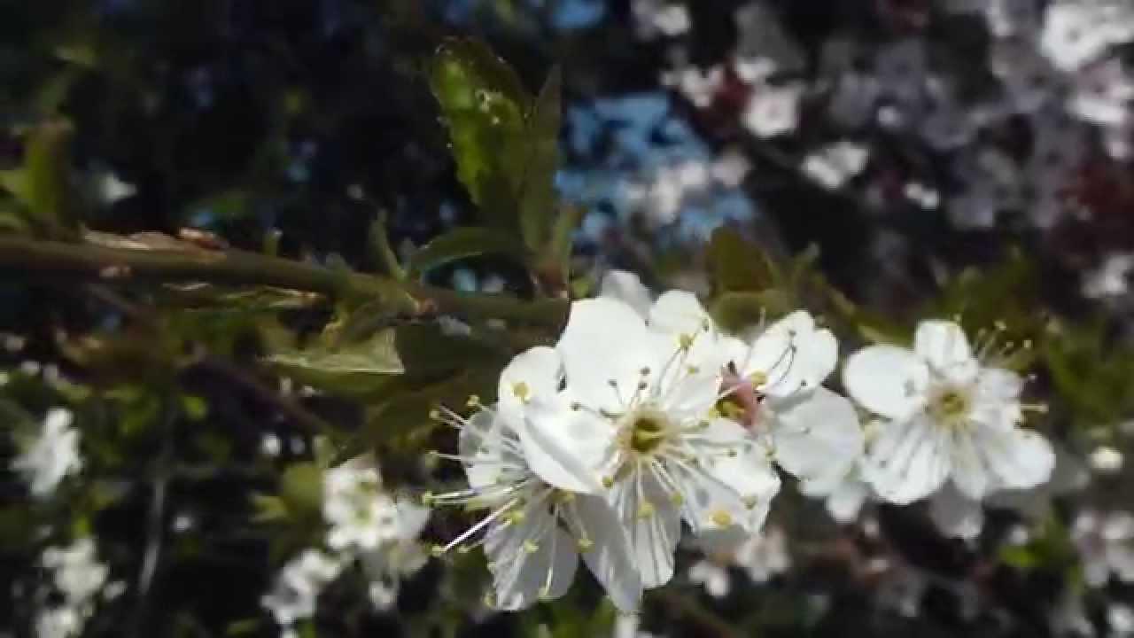 Wild Cherry Tree Blossoms White Flowers Kirsuberjatr