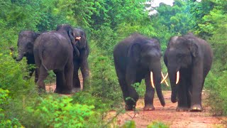 Young elephants fight for girl.The social behavior of elephants