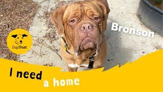 Bronson the brilliant Dogue de Bordeaux | Dogs Trust Shoreham