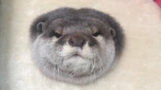 カワウソさくら 朝の挨拶!ノックして変顔 Otters with funny faces
