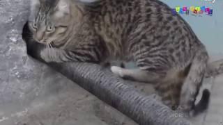 Приколы про кошек. кошки видео