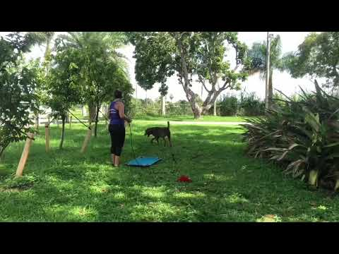 Thor the Chesapeake bay Retriever in Off Leash Camp