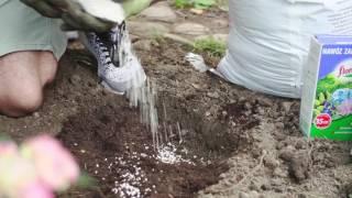 Jak sadzić i pielęgnować hortensje?