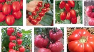 evde saksıda domates yetiştirme