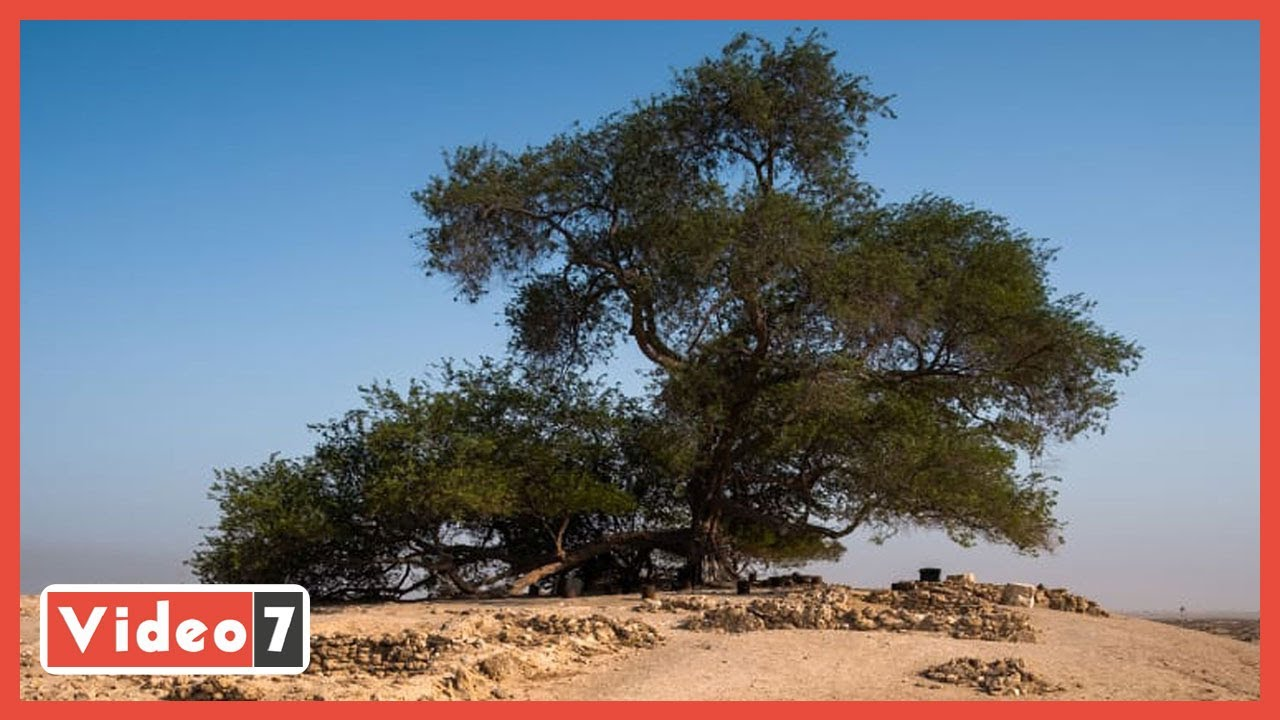 لغز شجرة الحياة.. صمدت أكثر من قرن فى قلب الصحراء  - نشر قبل 22 ساعة