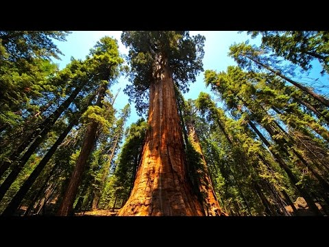 🌲 REDWOOD FOREST CANOPY 🌲 ⌠Sound⁞Ambience⁞ASMR⌡