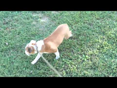 Irish The 6 Month Old ENGLISH BULLDOG, Before & After
