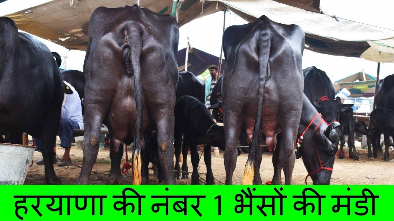 Number 1 Murrah Buffalo Mandi of Haryana - Fatehabad Mandi