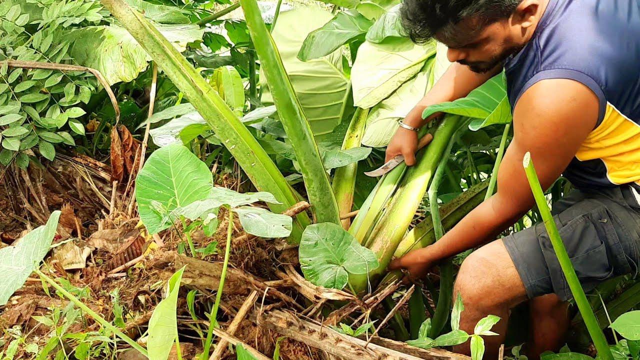 kiri Ala recipes  :  amazing healthy  Sri lankan food  Cooking by village boy and mother , කිරි අල